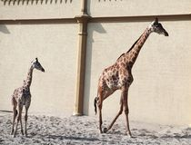 Girafa do bebê Natureza selvagem Girafa no jardim zoológico foto de stock royalty free