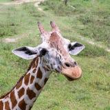 Girafa do close-up no jardim zoológico Fotografia de Stock Royalty Free