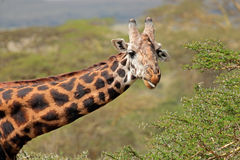 Girafa do Masai imagens de stock