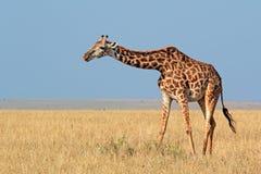 Girafa do Masai imagens de stock royalty free