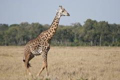 Girafa do Masai Fotos de Stock Royalty Free