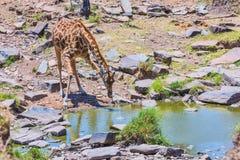 Girafa do Masai, bebendo do córrego fotografia de stock royalty free