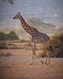 Girafa do Masai em Tanzânia Fotos de Stock Royalty Free