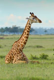 Girafa do Masai que encontra-se para baixo imagem de stock royalty free