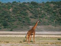 Girafa do Masai & x28; Tippelskirchi& x29 do Giraffa; em Magadi fotografia de stock royalty free