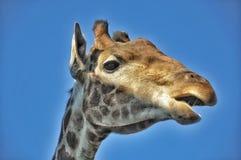 Girafa do retrato Foto de Stock