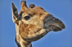 Girafa do retrato Fotos de Stock Royalty Free