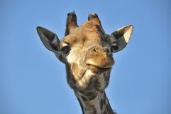 Girafa do retrato Fotografia de Stock