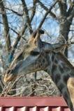Girafa do retrato Imagens de Stock Royalty Free