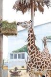 Girafa dois bonito grande que come a grama foto de stock royalty free