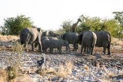 Girafa e elefante fotografia de stock