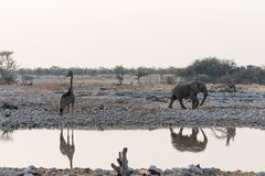Girafa e elefante fotografia de stock royalty free