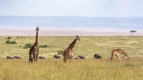Girafa e elefantes do Masai nas pastagem imagem de stock royalty free