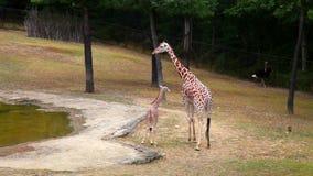 Girafa e filhote da mãe no parque do verão filme