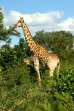 Girafa e vitela Fotos de Stock