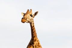 Girafa em África Fotos de Stock Royalty Free
