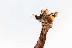 Girafa em África Foto de Stock Royalty Free