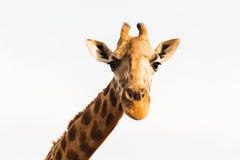 Girafa em África Imagem de Stock