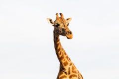 Girafa em África Imagem de Stock Royalty Free