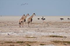Girafa em Etosha Fotos de Stock