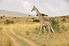 Girafa em Kenya, safari em África Fotos de Stock Royalty Free