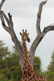 Girafa em selvagem foto de stock royalty free