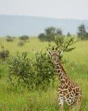 Girafa em Serengeti, Tanzânia Fotografia de Stock