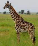 Girafa em Serengeti, Tanzânia Imagem de Stock