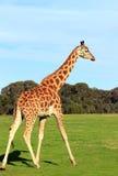 Girafa em um jardim zoológico Imagens de Stock Royalty Free