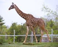 Girafa em um jardim zoológico Fotografia de Stock