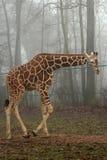 Girafa em uma floresta nevoenta Fotografia de Stock