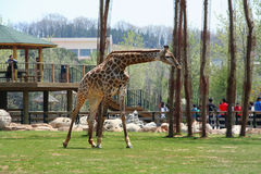 Girafa em uma reserva natural Imagem de Stock