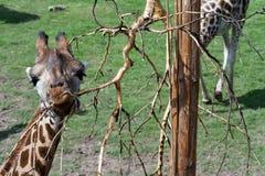 Girafa engraçado comer imagens de stock