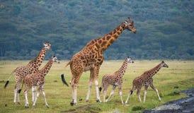 Girafa fêmea com um bebê no savana kenya tanzânia East Africa fotos de stock royalty free