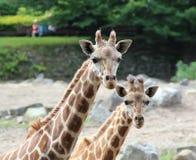 Girafa grande amigável do retrato e girafa pequeno Foto de Stock Royalty Free