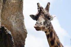 Girafa insolente que olha fixamente na câmera Fotografia de Stock