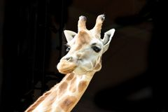 Girafa isolado em um fundo preto imagem de stock