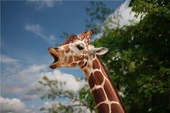 Girafa juvenil que boceja Imagem de Stock
