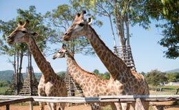 Girafa na exploração agrícola Fotografia de Stock