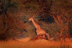 Girafa na floresta com as árvores grandes, nivelando a luz, por do sol Silhueta idílico do girafa com nivelamento do por do sol a Fotos de Stock Royalty Free