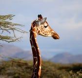 Girafa na reserva de mara do Masai fotografia de stock