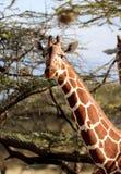 Girafa na reserva de mara do Masai foto de stock