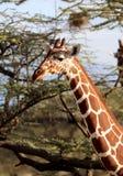Girafa na reserva de mara do Masai imagem de stock