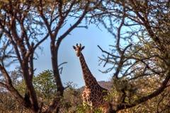 Girafa no arbusto Foto de Stock Royalty Free