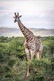 Girafa no arbusto africano Fotos de Stock Royalty Free