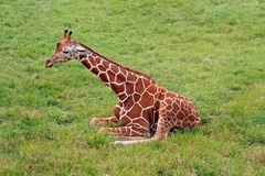 Girafa no campo Fotografia de Stock Royalty Free