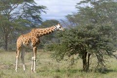 Girafa no campo de Kenya Fotografia de Stock Royalty Free