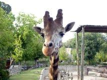 Girafa no jardim zoológico Imagens de Stock