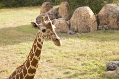 Girafa no jardim zoológico Fotos de Stock Royalty Free