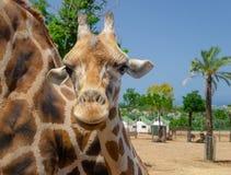 Girafa no jardim zoológico Itália do safari do apulia de Fasano imagem de stock royalty free